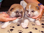 Akita inu girl 1 and 2